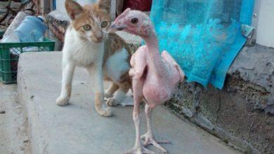 صورة منحة من نظام الأسد تثير السخرية .. 15 دجاجة بدون ديك