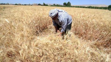 صورة النظام يعجز عن تسديد ثمن المحاصيل الزراعة للفلاحين