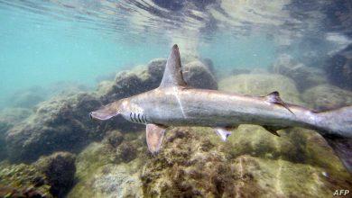 صورة سمكة قرش تنجب مولودة رغم بقاءها في حوض يخلو من الذكور 10 سنوات