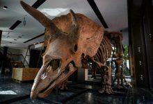 صورة بسعر خيالي مزاد علني لبيع ديناصور ثلاثي القرون