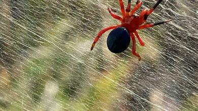 صورة محفوظة في كهرمان منذ 99 مليون سنة.. علماء يعثرون على بقايا عنكبوت وصغارها