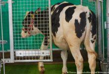 صورة باحثون ينجحون في تدريب الأبقار على استخدام دورات المياه.. كيف فعلوا ذلك؟