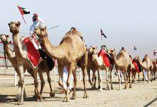 صورة مسابقات جمال الإبل تشعل الطلب على استنساخها في الإمارات