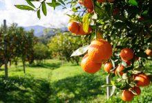 صورة بعد إزاحة جنوب أفريقيا.. مصر الأولى عالمياً في تصدير البرتقال إلى أوروبا