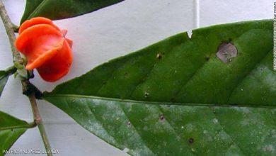 """صورة """"لغز مانو"""".. فك شفرة النبتة الغامضة بعد نصف قرن من اكتشافها"""